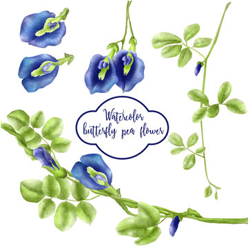 watercolor set of butterfly pea flower