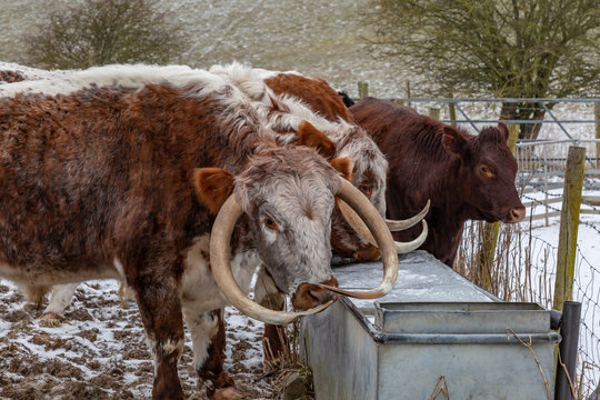 Cattle in the South Downs on a snowy winters day, trying to drink from a frozen water trough