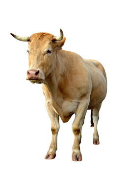Standing cow isolated on a white background.