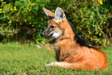 Maned wolf (Chrysocyon brachyurus) lying in the grass.