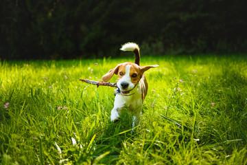 Dog run towards camera on a green grass outdoors fetching a stick.