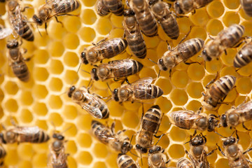 Honey bees working on honey comb