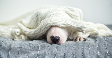 A cute white English bull terrier is sleeping on a bed under a white knitted blanket