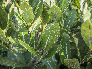 scale insects sucking on laurel