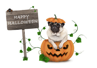 cute pug puppy dog sitting in carved pumpkin with scary face, wearing lid as hat, with wooden sign saying happy halloween isolated on white background