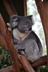 Closeup of a koala sitting on an eucalyptus tree branch - Australian wildlife.