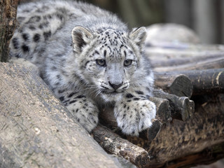 young Snow leopard, Uncia uncia watching the surroundings