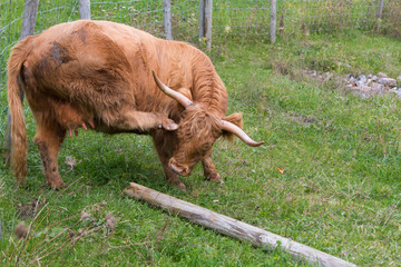 Highland cow scratching herself