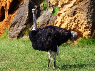 Zelfklevend Fotobehang Struisvogel View of a cute ostrich