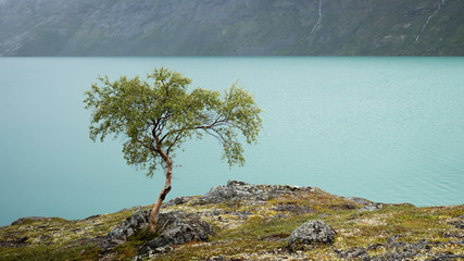 Small Birch near a Mountain Lake