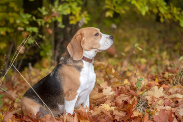 Beagle dog in autumn Park with yellow foliage