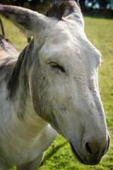 âne ou mule