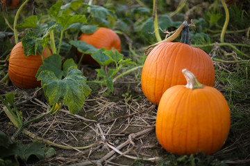 Ripe Orange Pumpkin Plants Ready to be Picked for Harvest in a Pumpkin Patch Field, Fall Halloween or Thanksgiving Concept