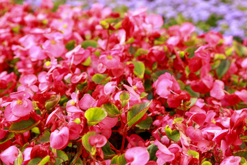 Flowerbed of bright pink flowers. Soft focus. Close-up of garden bed. Blurred floral background. Botanical photography.