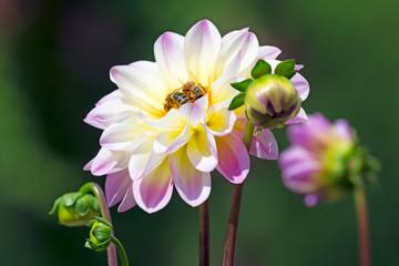 Papiers peints Dahlia Bees at a dahlia flower blossom