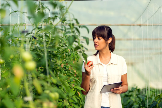 Female agronomist with tablet working in greenhouse inspecting the plants
