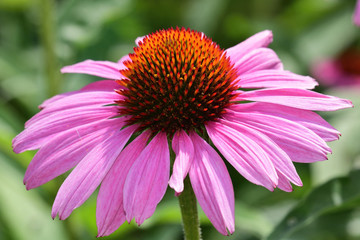 Close up of a pink echinacea flower