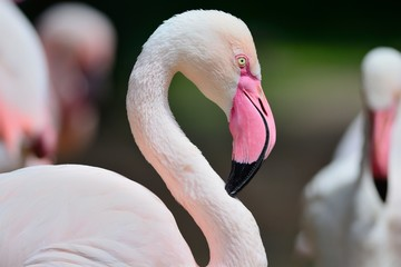 Close up of a flamingo