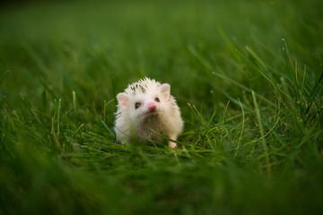 hedgehog in grass