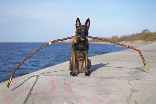 Young obedient Belgian Shepherd dog Malinois sitting outdoors near a sea holding a long stick in its mouth