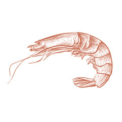 Shrimp hand drawing vector illustration. Shrimp cooked red