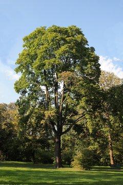 huge,high ash tree in park