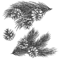 pine cones on branch collection hand drawn vector illustration realistic sketch