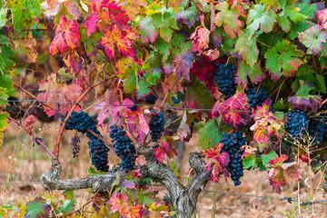 colorful gravine at wine harvest season