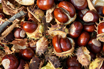 Fallen chestnuts and leaves. Autumn sign.