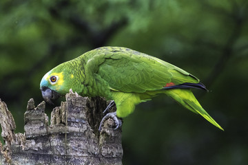 papagaio-verdadeiro amazona