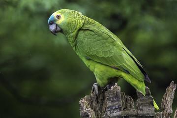 Fotorolgordijn Papegaai Papagaio verdadeiro