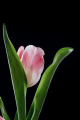 Pink Tulip Against Black Backdrop