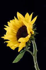 Bloomed Sunflower Against Black Background