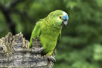 Papagaio verdadeiro amazona ave
