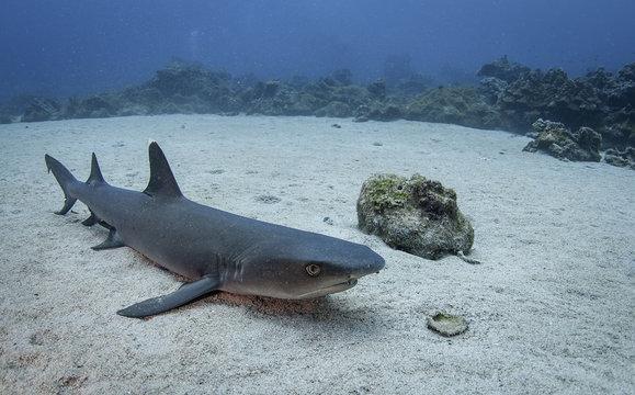 White tip reef shark resting on the ocean floor, Cocos Island, Costa Rica.