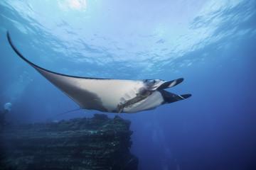 Manta ray at San Benedicto Island, Revillagigedo Islands, Mexico.