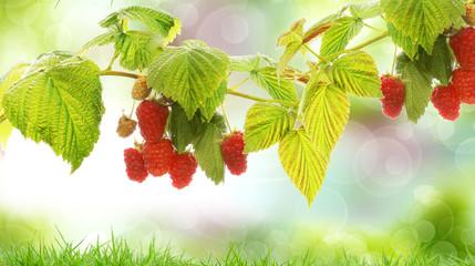 tasty gargen raspberries