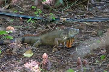 large green iguana in the swamp
