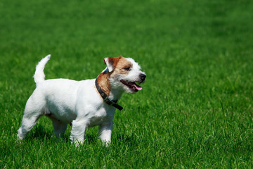 Dog breed Parson Russell Terrier