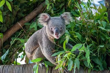 Photo Stands Koala koala bear