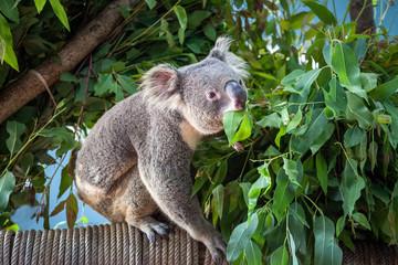 Garden Poster Koala koala bear