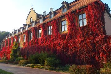 Obraz Polska, Gdańsk - czerwony bluszcz porastający ścianę domu w Parku Oliwskim - winobluszcz, dzikie wino (Parthenocissus) - fototapety do salonu
