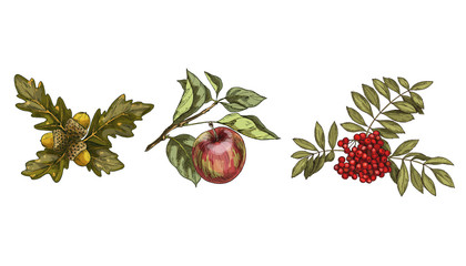 Set of colorful autumn leaves and fruits isolated on white background. Apple, rowan, oak. Detailed hand drawn vector illustration.