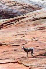 Desert Bighorn Sheep in Zion National Park, Utah