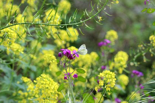 Sinapis arvensis - Mustard - Moutarde des champs