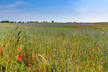 Mohn und Kornblumen Feld in der Uckermark