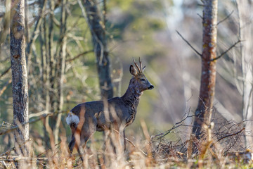 Vigilant Deer Buck in the woodland