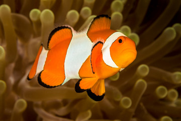 false clown anemonefish fish