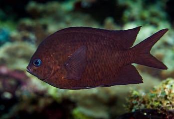 komodo damsel fish