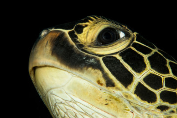 green sea turtle head